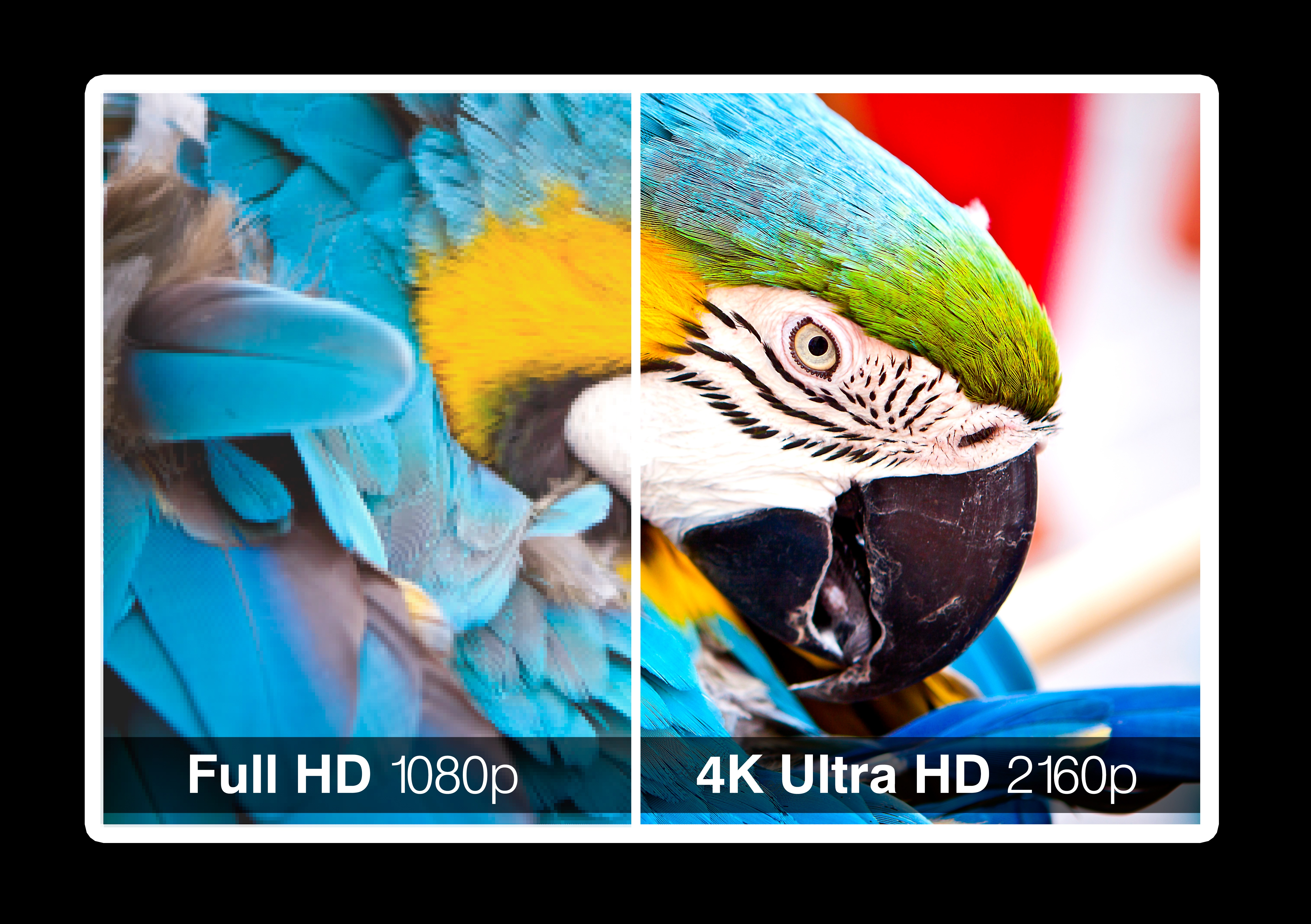 Bilde av en blå papegøye i full HD  og 4K